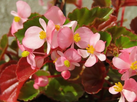cvetovi begonije