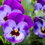 balkonsko cveće