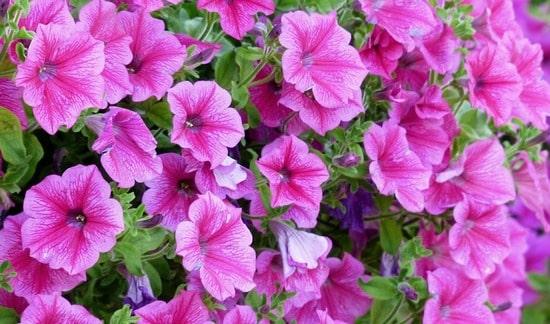 Cvetovi petunije